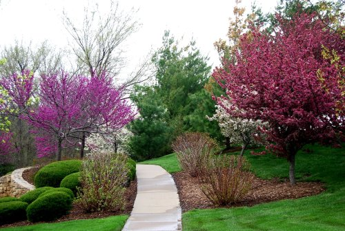 Flowering trees line the sidewalk in the park across the street from my house on an April morning.  Photo by Cathy Sherman.