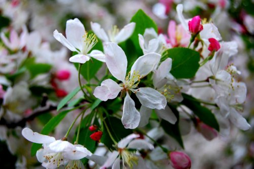 Apple blossoms in my neighborhood. Photo by Cathy Sherman