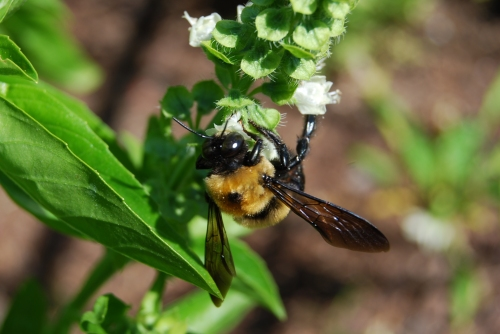 A male carpenter bee visits a basil blossom in my 2007 garden. Photo by Cathy Sherman.