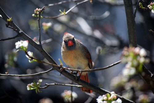 Female cardinal waits her turn at the feeder on a pear tree outside my kitchen window. Photo by Cathy Sherman.