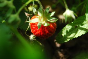 A ripe strawberry is like a perishable gem in my patch.  I need to grab it before something else does or before it goes from ripe to rot. Photo by Cathy Sherman.