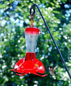 A male ruby-throated hummingbird at our feeder.