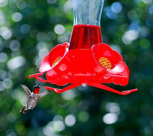 This male ruby-throated hummingbird darted in to have a sip at our feeder.