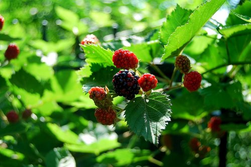 Chiggers lie in wait to make me lunch as I grab these blackberries for my own meal.