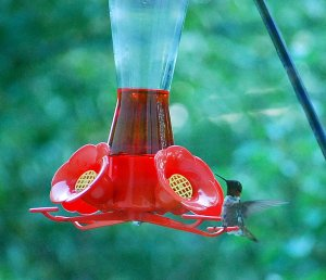 Another view of our elusive ruby-throated hummingbird.