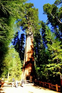 General Sherman Sequoia Tree in California, large single organism in the world, and named after a Sherman!
