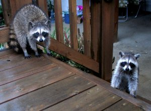 A family of raccoons visited our deck.  Photo by Cathy Sherman.