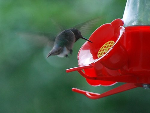 Is it our resident ruby-throated hummingbird, a male, or a female intruder? I can't tell.