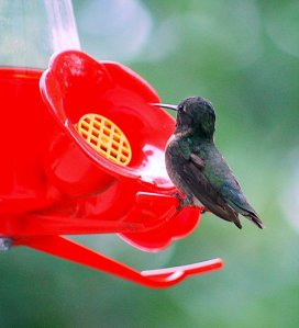 Is it a male or female ruby-throated hummingbird? You tell me.