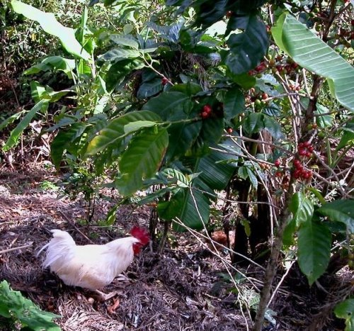 This chicken scratches for dinner under coffee and banana trees near Le Tigre National Park in Honduras.  The red cherry covering the coffee bean is edible.  I tried one.  It was slightly sweet.  Tropical highlands are ideal for growing coffee. Perhaps, the land would find a better use if we all weren't so addicted to coffee.