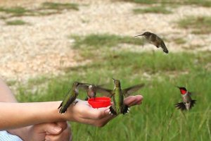 Peaceable kingdom in Louisiana.  Usually, ruby-throated hummingbirds will fight off rivals at the feeder, but there they not only are hanging out (or should I say hovering about?) but also overlooking the fact that a human is literally handing out the treats, a cup of suagr water.
