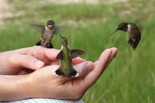 In September 2006, Abigail Alfano of Pine, Louisiana, trained these hummingbirds to feed from her hands.  These were hummingbirds that had been visiting her hummingbird feeder.  I'm envious, but I definitely don't have her patience.