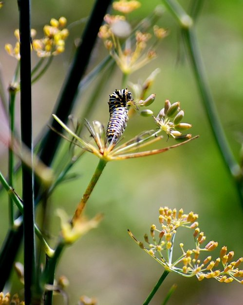Is this the last Black Swallowtail Caterpillar of the year?  The fennel plant has almost been chewed clean of leaves.