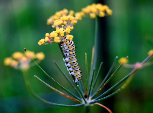 Blackswallowtail butterfly on bronze fennel.