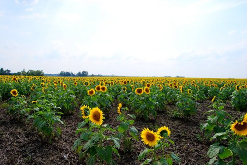 Endless fields of sunflowers near Quapaw, Oklahoma.