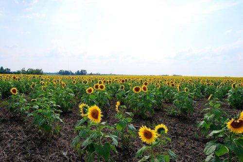 Endless fields of sunflowers near Quapaw, Oklahoma.