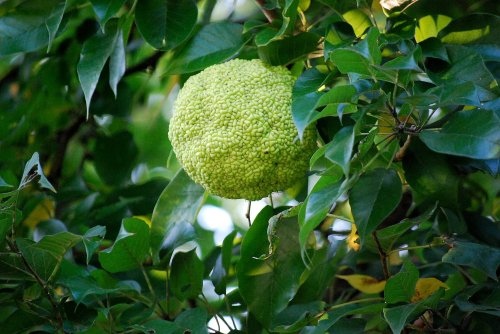 Hedge apples are the fruit of the Osage Orange tree, but unfortunately they aren't very tasty.  Too bad, because they are everywhere in the early fall in the lower Midwest.