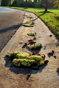 "Hedge apple ""harvest"" on the curb."