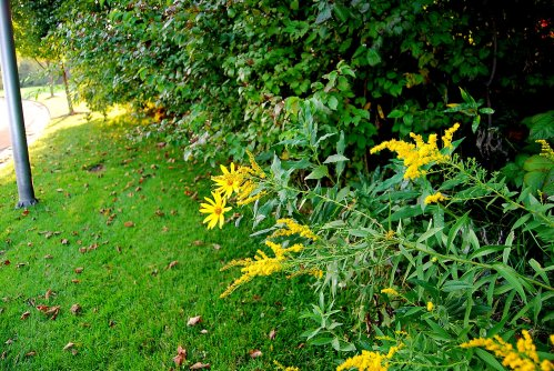 Sunflowers, goldenrod, dogwoods and other plants grow in the hedgerow.
