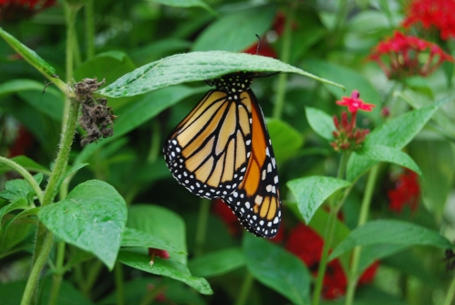Gimme Shelter!  A monarch butterfly escapes the rain in the greenhouse at Monarch Watch.