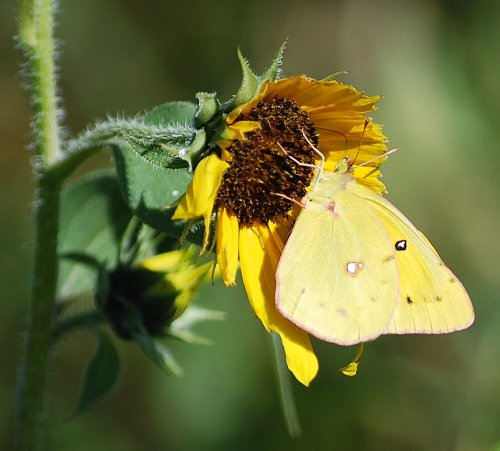 An Orange Sulphur butterfly visits a sunflower in a vacant lot near a big box store.