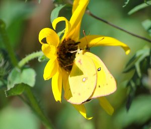 A Cloudless Sulphur butterfly nectars on a wild sunflower in a vacant lot.