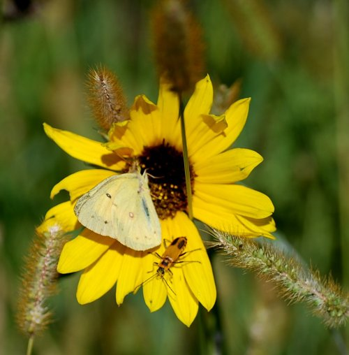 Orange Sulfur Butterfly and a soldier beetle rival compete for space on a sunflower. A for sale sign on the lot means all of the insects may soon be out of a home.