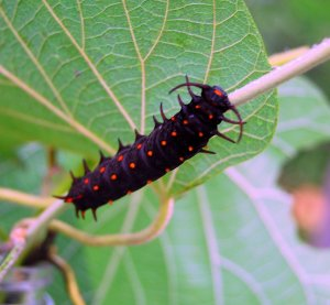 Scary and beautiful is this Pipevine Butterfly caterpillar in the Monarch Watch greenhouse.