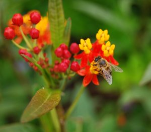 This honeybee finds nectar on a tropical milkweed in the pollination garden at Monarch Watch on the KU campus.