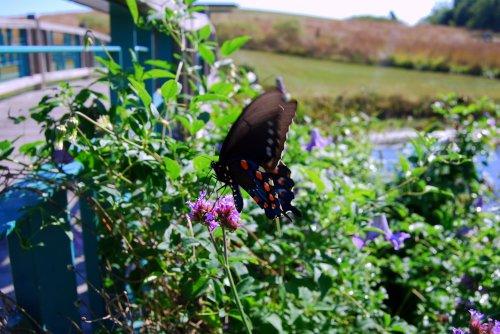Black Swallowtail butterfly at Powell Gardens, Lone Jack, Missouri, 2007.