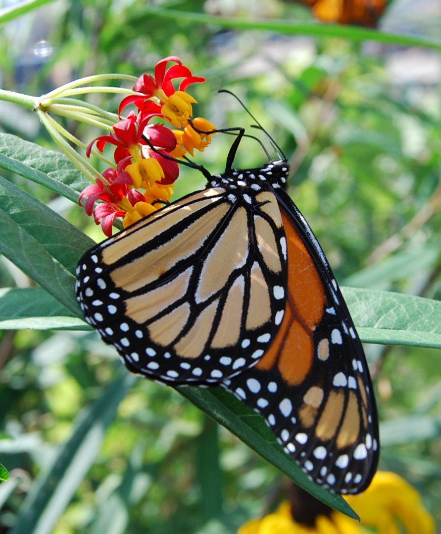 cloudless sulphur butterflies and caterpillars   catherine sherman