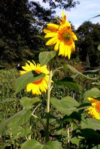 Sunflowers in Fenway Victory Garden in Boston.