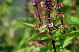 In 2007, there weren't many bees in my garden, but this year they've swarmed to my basil plants. I have both honey bees and carpenter bees.