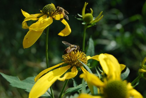 Two honeybees find nectar on wildflowers in a park.  Wild areas provide much-needed food sources for bees, but more natural habitat is being lost to development.  Too often beautiful native plants are mowed down.