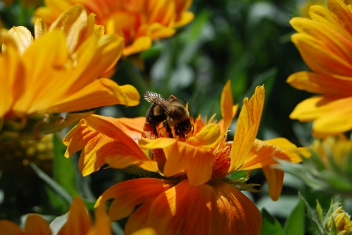 This honey bee has found a paradise at a local nursery.