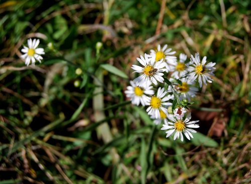 Asters are a home for all sorts of insects.  It's the Waldorf Aster-oria.
