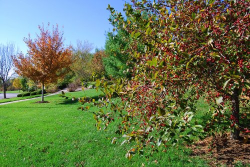 The crabapples in the neighbhorhood are weighed down with fruit.