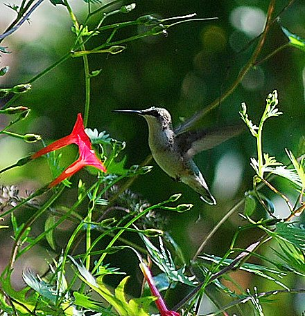 I was so excited when this female hummingbird stopped by our backyardfor a few days to visit the cardinal flowers I planted to attract her.