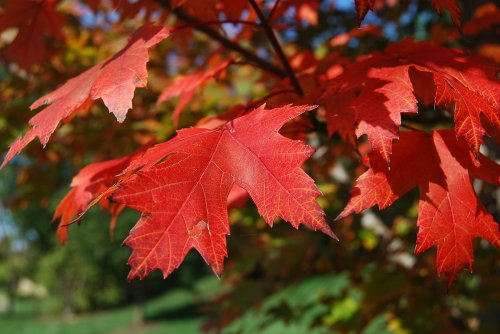 I don't need to tell you what these are! Without maple leaves, we'd have to cancel Autumn.