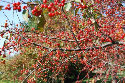 An abundance of crabapples.