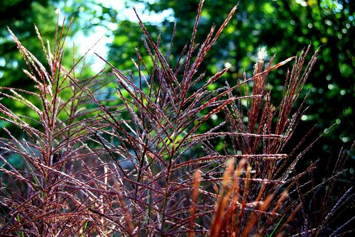 Pampas grass turns a lovely shade of purple in the fall.