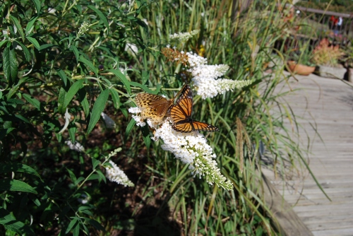 Here's why this beautiful flowering shrub is called Butterfly Bush.  These butterflies are int he butterfly garden at Powell Gardens in Lone Jack, Missouri, east of Kansas City.