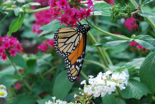 A Monarch butterfly fid nectar in the greenhouse at Monarch Watch at the University of Kansas.