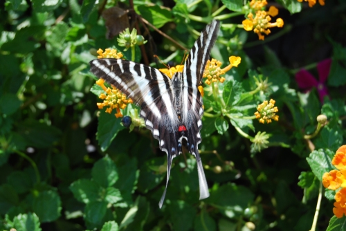 A Zebra butterfly flutters in the greenhouse at Monarch Watch at the University of Kansas.  I saw a Zebra flt through my yard this year. It flashes by so quickly I almost thought it was a hallucination -- or at least wishing thinking.