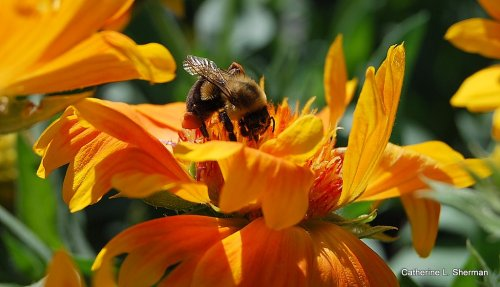 I was tagged by Anna' Bee World.  In her honor, I'm posting this photo of a bee that I took this fall at a nearby nursery.