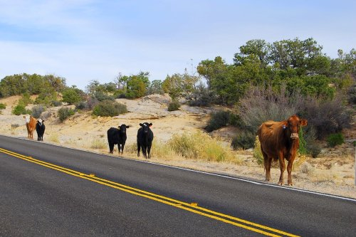 Why did the cow cross the road?  Looking for grass.  Good lucCattle wander the open range in Utah, so motorists need to be wary.