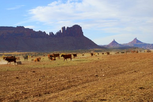 You don't see many cattle in this arid land.  The few there are wander freely on the range, and you need to be careful that you don't hit them when they cross the road.  These are cattle at the historic Dugout Ranch, south of the Needles section of Canyonlands National Park, Utah.