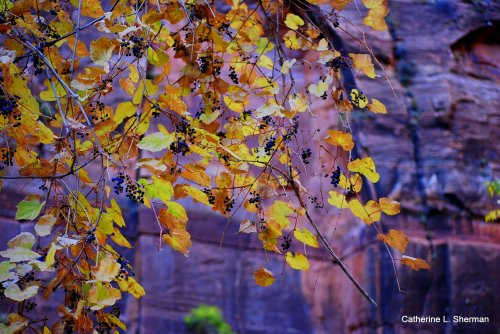 A bounty of currants hangs from a vine along the Virgin River in Zion National Park, Utah.