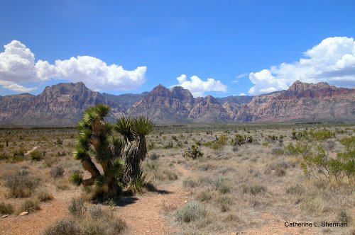 Joshue trees, a kind of yucca, flourish in Red Rock Canyon National Conservation Area west of Las Vegas.