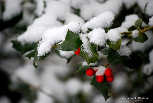 I didn't venture far to get this photo of snow on a holly bush in my backyard.